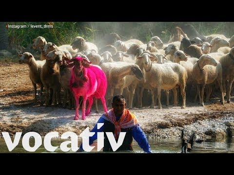 Turkish Competition Measures Love Between Sheep and Shepherd