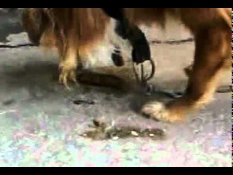Il cane che mangia la merda youtube - Cane che mangia a tavola ...