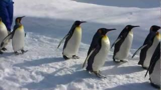 好天の旭山動物園。 運動不足のペンギンが元気にお散歩中。 気まぐれな...