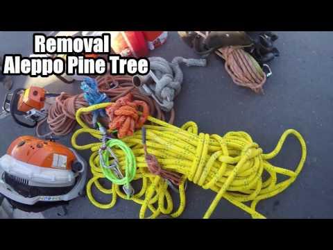 removal aleppo pine tree ,Tala de pino