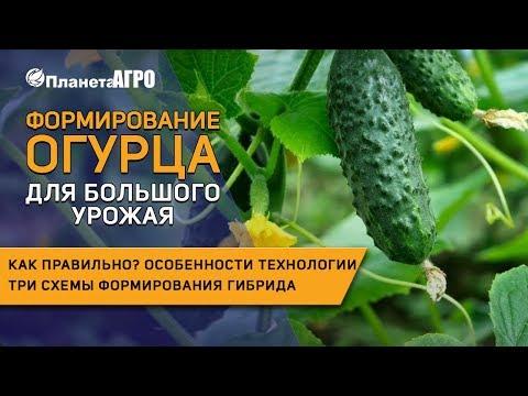 🥒 Формирование плода огурца 🥒 Как правильно формировать растение в теплице 🌿 Планета Агро