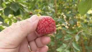 Che (Zhe) Fruit - October 8, 2020 - YouTube