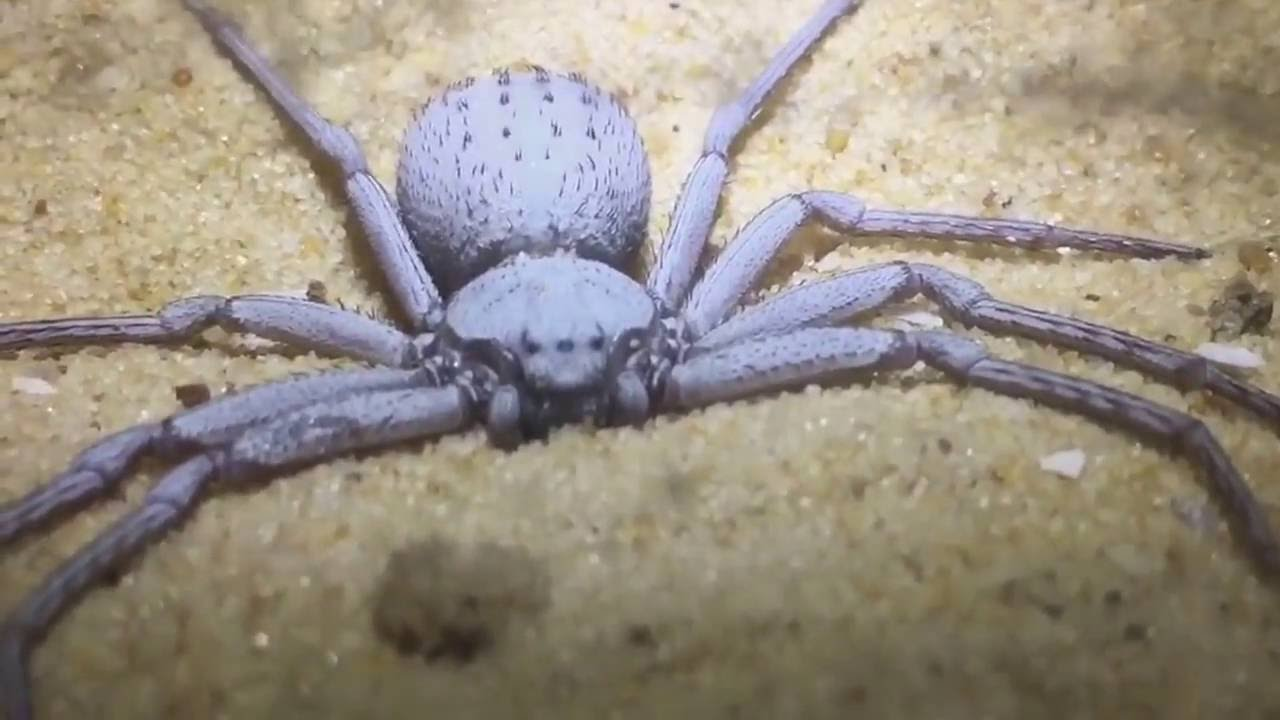Female Sicarius Terrosus Six Eyed Sand Spider Real Or Fake