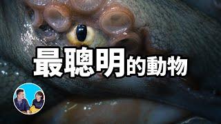 地球上智商最高的九種動物,第一名就快變成人了 | 老高與小茉 Mr & Mrs Gao