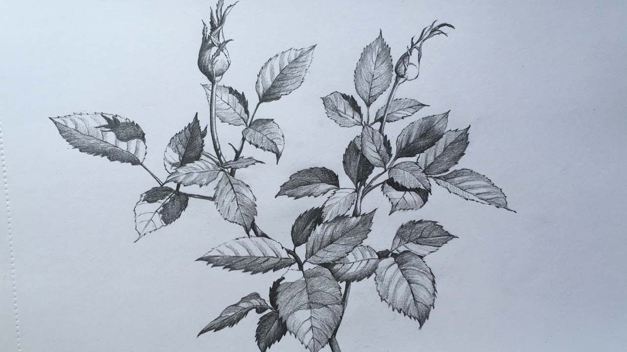 Rose Leaves And Buds Drawing In Pencil Leaves Pencil Sketch Foliage Drawing Youtube