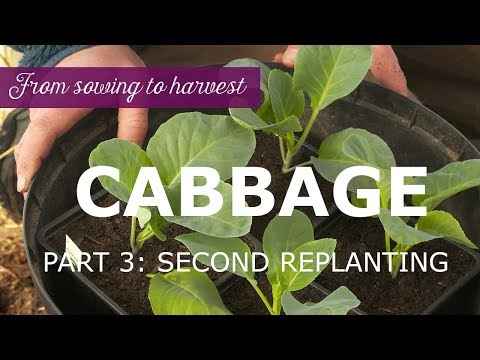 growing-cabbage-from-sowing-to-harvest---part-3:-second-replanting