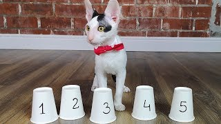 Cat challenge SHELL GAME Cornish Rex cat vs Don Sphynx cat. Who is smarter?