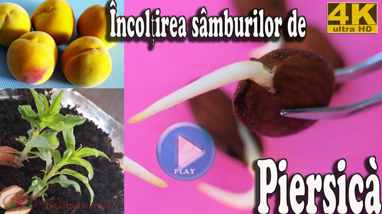 fructe de castan cu varicoză