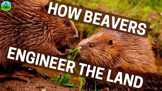 How Beavers Engineer The Land