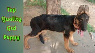 German Shepherd male puppy for sale