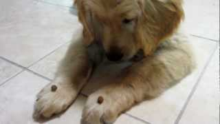 A 13 Year Old Training A 13 Weeks Old Golden Retriever Puppy To Wait For Treats