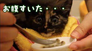 """赤ちゃん猫救出劇の直後!鳴きながらご飯編。おそらく2日ぶりくらいのご飯  Rescued kitten saying """"YUM YUM"""" while eating thumbnail"""