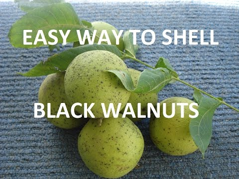 How to Harvest and Shell Black Walnuts