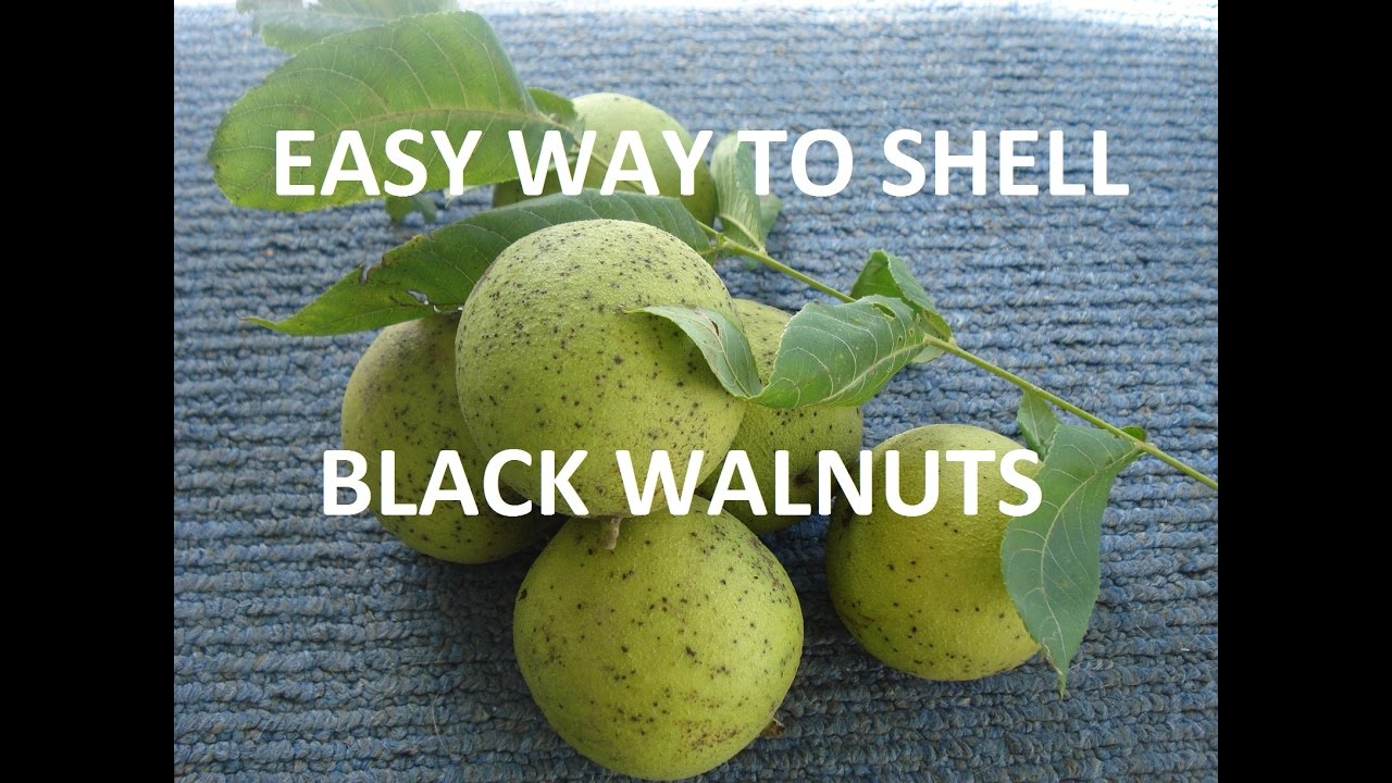 How to Harvest and Shell Black Walnuts YouTube