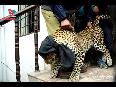 Leopard at Baneshwor | Daily Exclusive News ( Media Np TV)