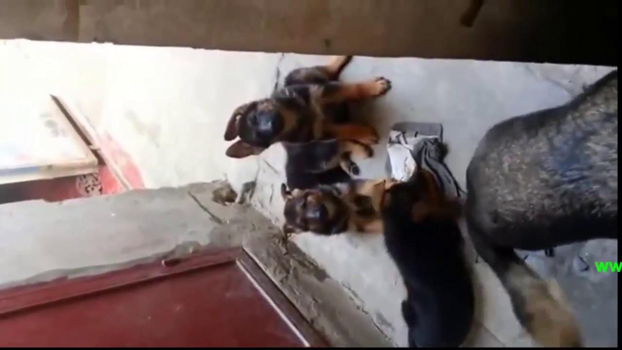 bán chó becgie Đức – chó becgie nhỏ thuần chủng 2 tháng tuổi
