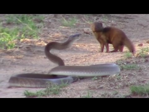 Brave Mongoose Tackles Lethal Black Mamba Snake: SNAPPED IN THE WILD