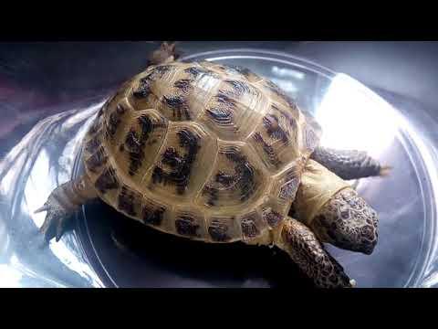 Вопрос: Как узнать сколько лет нашей среднеазиатской черепашке?