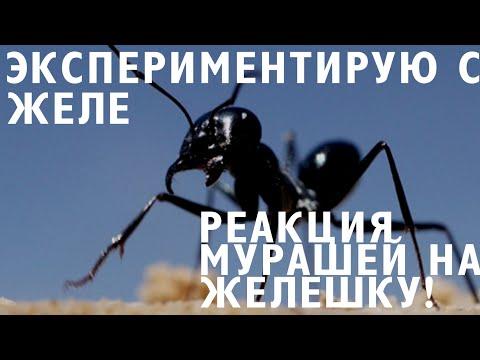 #интересно#мураши#желе ЭКСПЕРЕМЕНТ НАД МУРАШКАМИ,ДАЮ СВОИМ МУРАВЬЯМ ЖЕЛЕ ,ОНИ ПОГИБЛИ?!