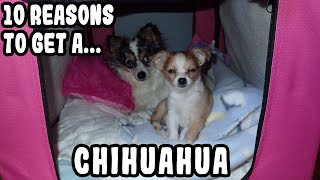 10 Reasons To Get A Chihuahua