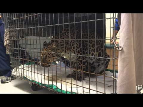 Armani Leopard Goes to the Vet