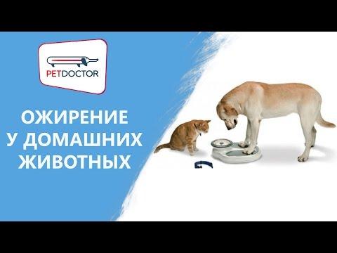Ожирение у собак и кошек. Рекомендации ветеринарного врача