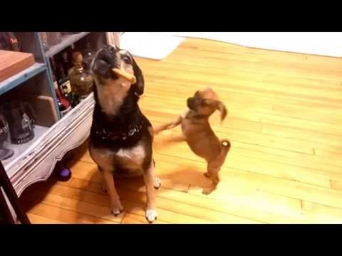Selfish puggle puppy