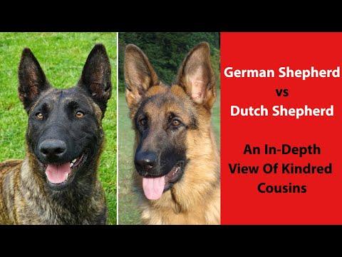 German Shepherd vs Dutch Shepherd: An InDepth View of Kindred Cousins