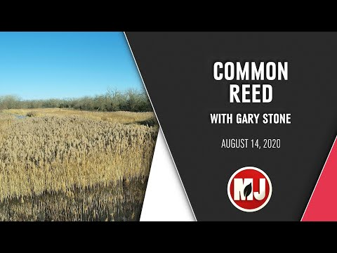 Common Reed | Gary Stone | August 14, 2020