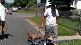 Training A Pit Bull With Fear Aggression