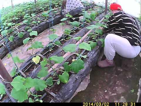 Выращивание огурцов дома Как быстро вырастить огурцы на