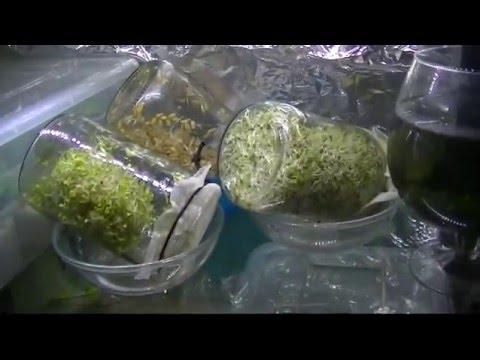 Как прорастить маш - рецепт для сыроедов, проращивание маша