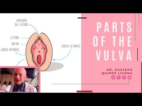 Partes de la vulva o de la zona externa de la vagina
