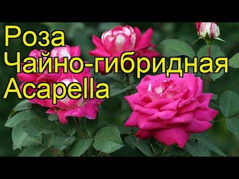 Роза чайно-гибридная Акапелла. Краткий обзор, описание характеристик, где купить саженцы Acapella