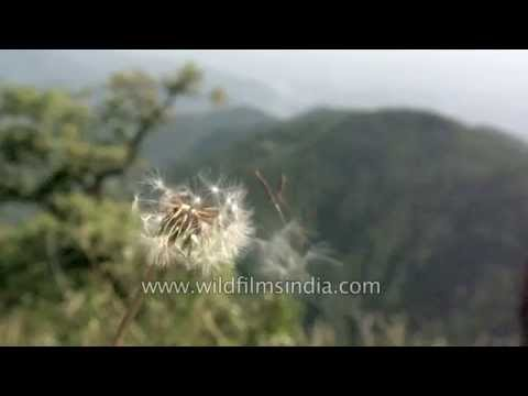 Dandelion seeds blowing in the wind : slow motion reveal!