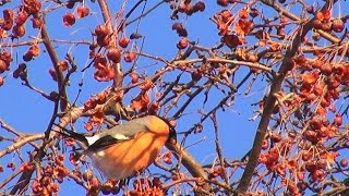 Снегири лакомятся Bullfinches feed sweetly Птицы thumbnail