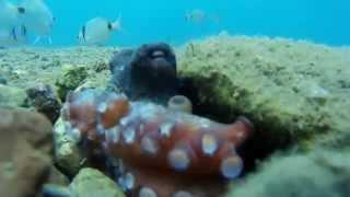 Осьминог танцует Мармарис Турция | Octopus dancing Marmaris Turkey 1080p sj4000(Вот такого красавца осминога я встретил в Мармарисе в 5 метрах от пляжа возле вертолетной площадки. группа..., 2015-07-21T07:09:21.000Z)