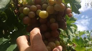 Сорт винограда Ливия,02.08.2020