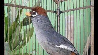 [13.13 MB] Pancingan POKSAY Mandarin AGAR GACOR dan RAJIN BUNYI