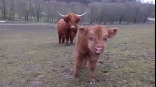 Friendly Highland Cattle With Baby