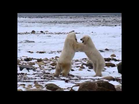 Polar Bears of the Hudson Bay