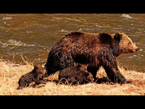 Yellowstone Grizzly with 3 tiny cubs