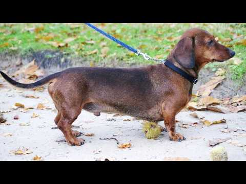 Dachshund - Dog Breed Information