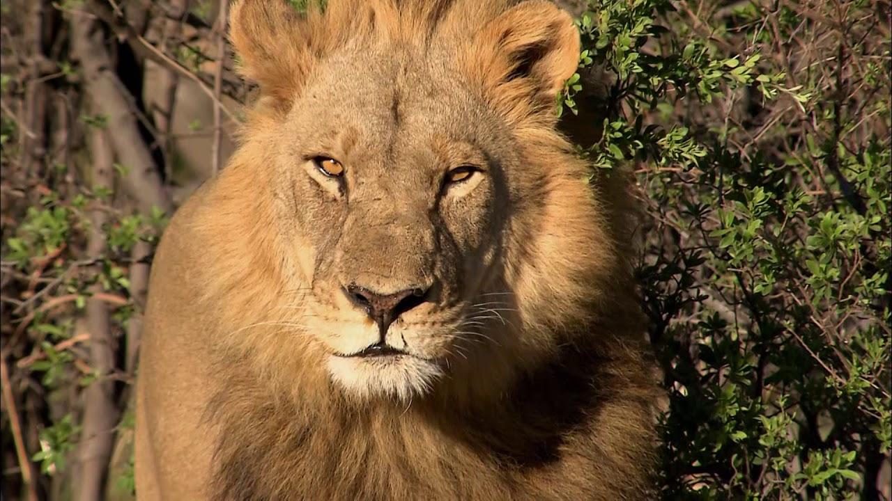 Afrique A La Vie A La Mort Extrait La Chasse Du Lion Youtube