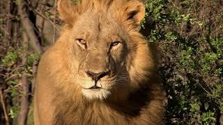 Video Afrique : à la vie, à la mort | Extrait : La chasse du lion download MP3, 3GP, MP4, WEBM, AVI, FLV September 2018