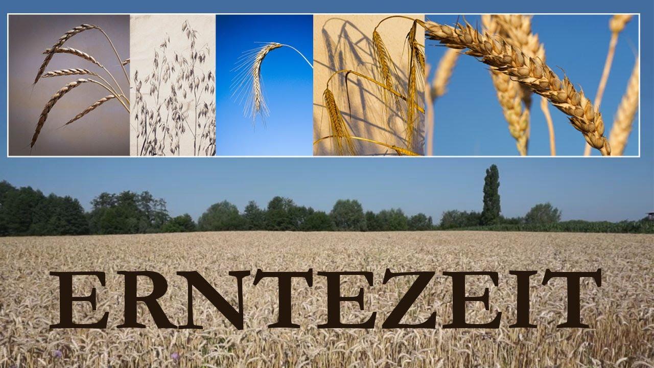 Download Unsere 5 Getreidesorten und ihre Verwendung!
