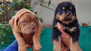 Rottweiler  Puppy and French Mastiff Puppy for Sale | Doggyz World 9896504757, 9053119992