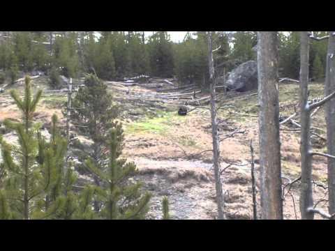 Un Oso Grizzly en el Parque Yellowstone