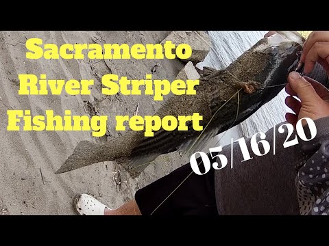 Sacramento River Striper Fishing Report (05/16/2020) Lots Of Fishes Being Caught.