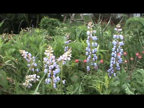 Minnesota Native Plant - Wild Lupine (Lupinus Perennis)